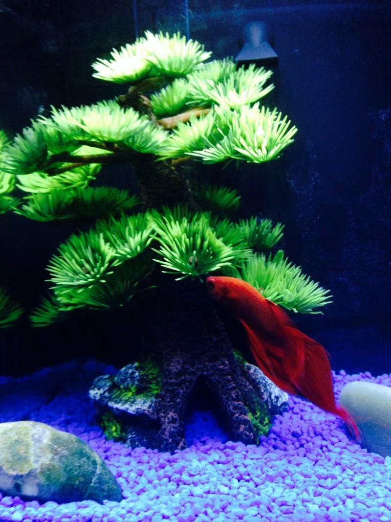 Cachette poisson combattant Photo_12