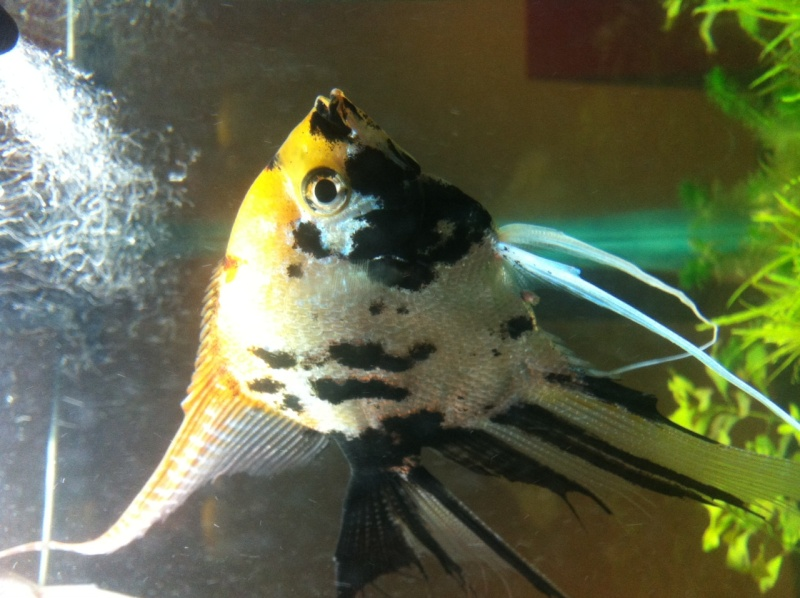 Sexing my new angel fish adults Img_8110