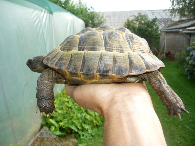sexage de ma tortue Cyty11