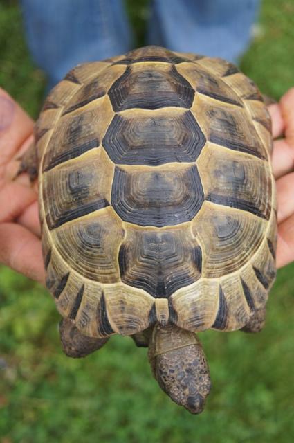 sexage de ma tortue Dessus10
