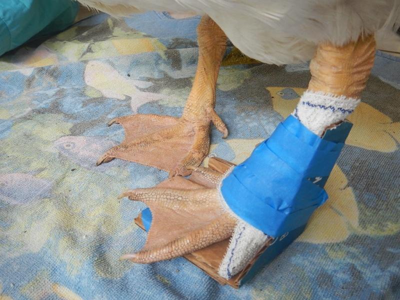 Mon oie c'est cassé la patte ! help Dscn4912