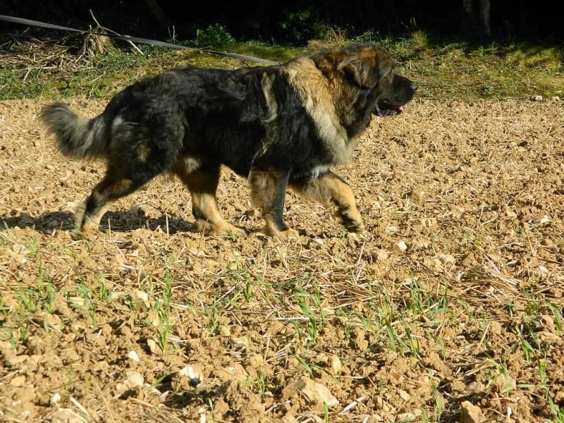 Taille et poids de votre Berger du Caucase Dscn5710