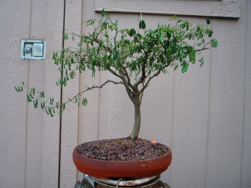 Brazilian Raintree Flat-top Progression. Lots of Pictures - please wait to load - Page 2 Brt_re10