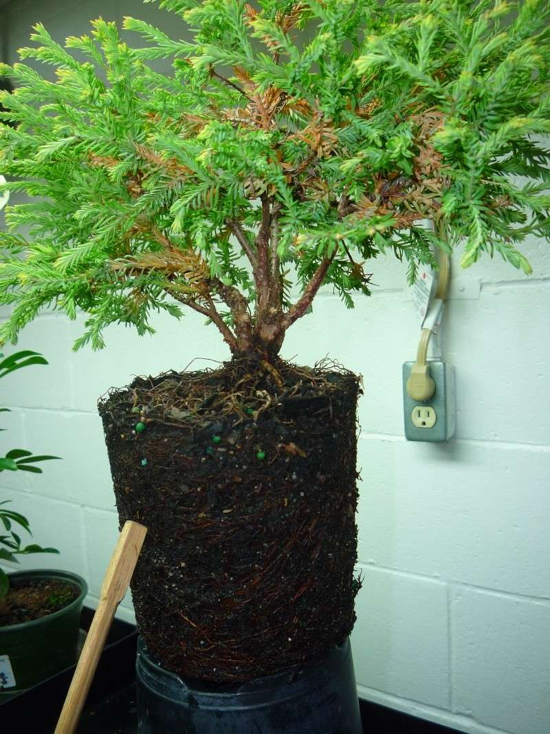 Anyone worked with arborvitae golden tuffet? P1150217