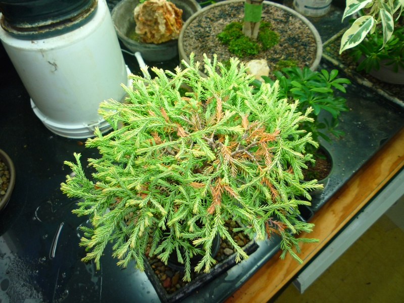Anyone worked with arborvitae golden tuffet? P1150219