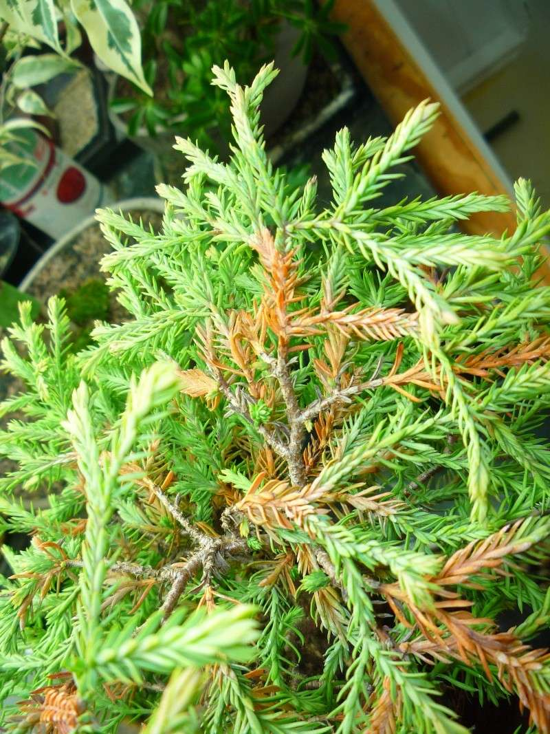 Anyone worked with arborvitae golden tuffet? P1150220