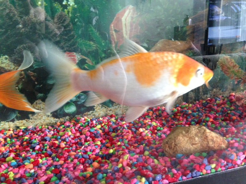 Question regarding actions of my fantail gold fish 2014-011