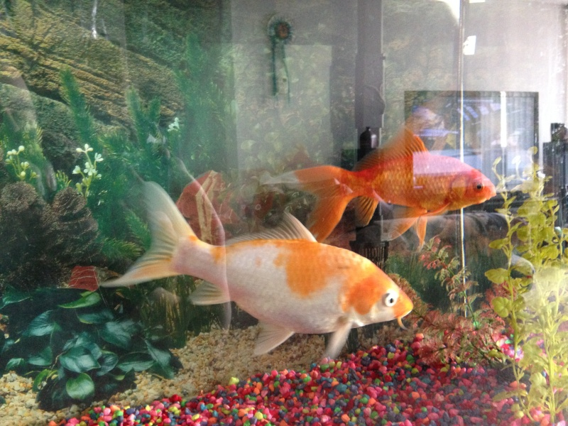 Question regarding actions of my fantail gold fish 2014-012