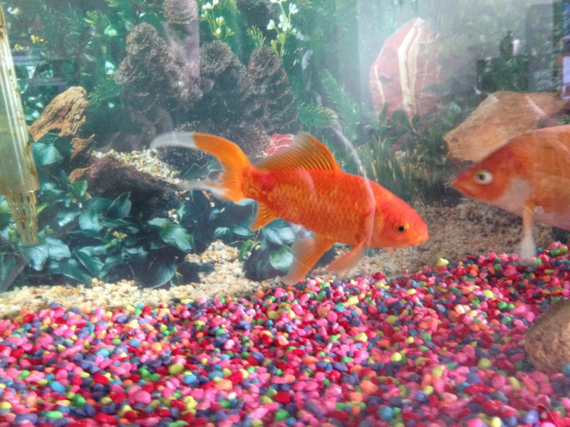 Question regarding actions of my fantail gold fish 2014-013