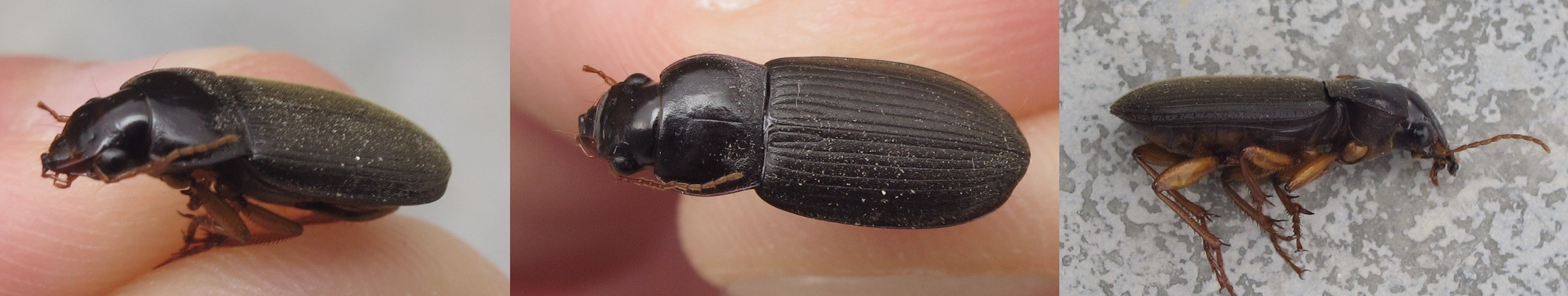 Invasion scarabée brun noir Pseudo12