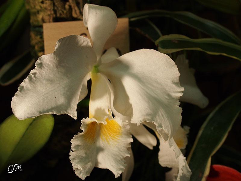 Esslinger Orchideentage 19.-21. September P9190026