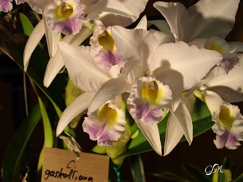 Esslinger Orchideentage 19.-21. September P9190027