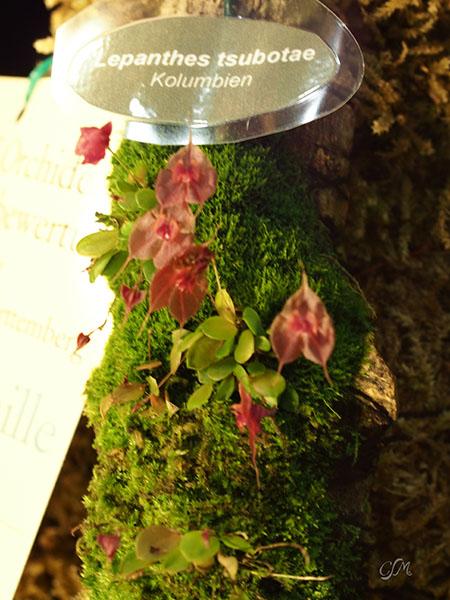 Esslinger Orchideentage 19.-21. September P9190031