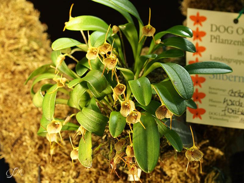 Esslinger Orchideentage 19.-21. September P9190033