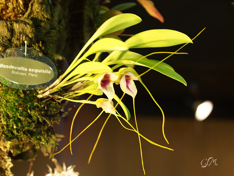 Esslinger Orchideentage 19.-21. September P9190034