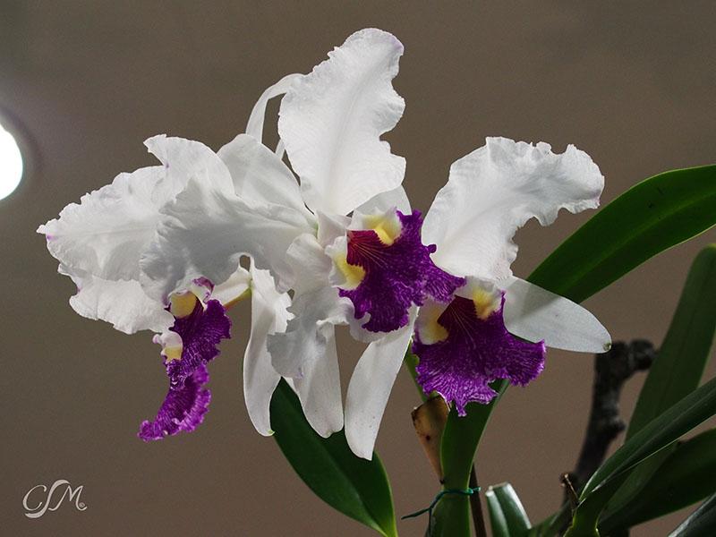 Esslinger Orchideentage 19.-21. September P9190035