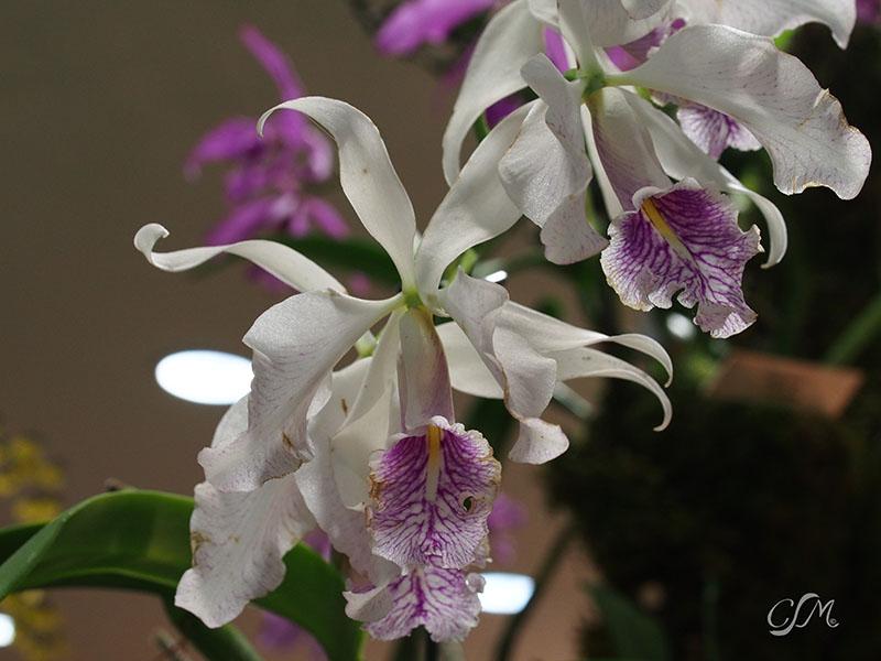Esslinger Orchideentage 19.-21. September P9190040