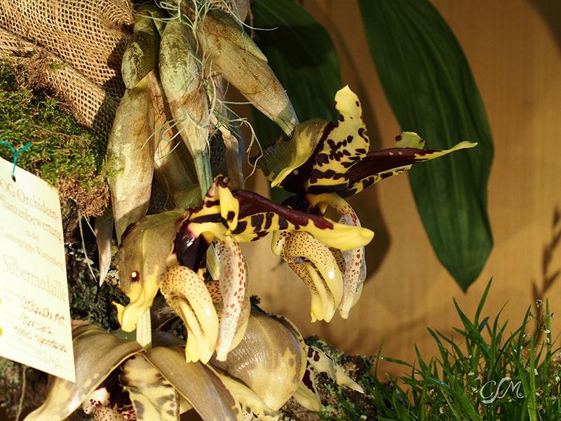 Esslinger Orchideentage 19.-21. September P9190044