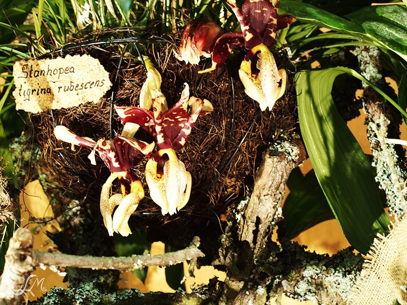 Esslinger Orchideentage 19.-21. September P9190045