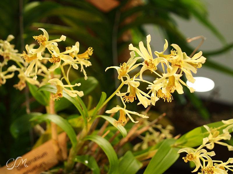 Esslinger Orchideentage 19.-21. September P9190047