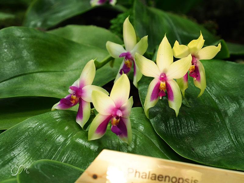 Esslinger Orchideentage 19.-21. September P9190049