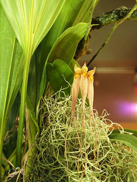 Esslinger Orchideentage 19.-21. September P9190056