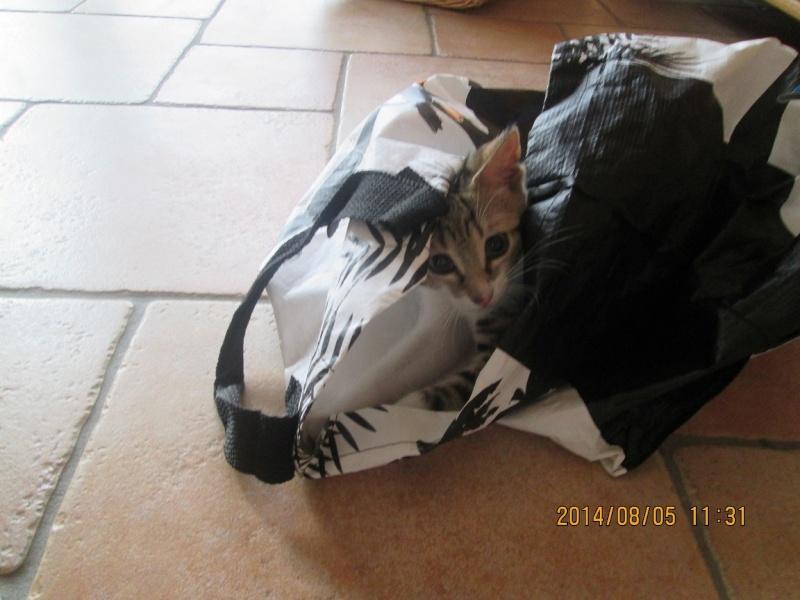 JOKE, chatonne tigrée et blanche, née début Mai 2014 Img_0312