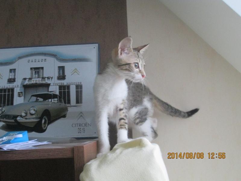 JOKE, chatonne tigrée et blanche, née début Mai 2014 Img_0315