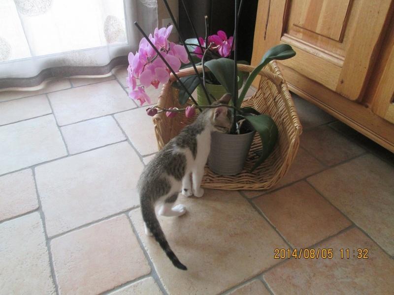 JOKE, chatonne tigrée et blanche, née début Mai 2014 Img_0316