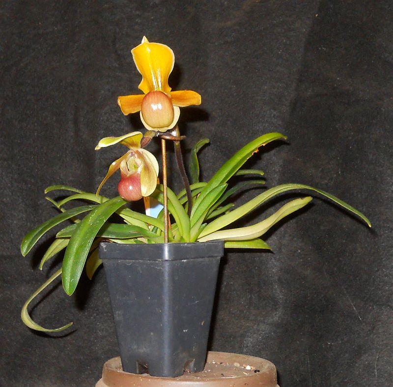 Orchids as Kusamono - Paphiopedilum helenae Helena10