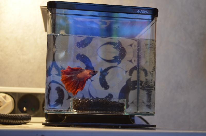 L'aquarium de mon betta  Dsc_0910