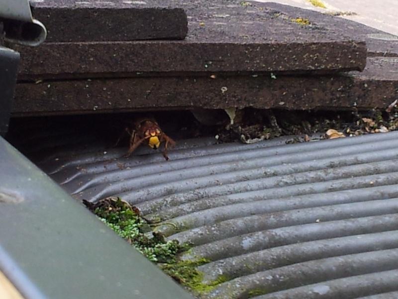 Nid de guêpes sous mon toit 20140812
