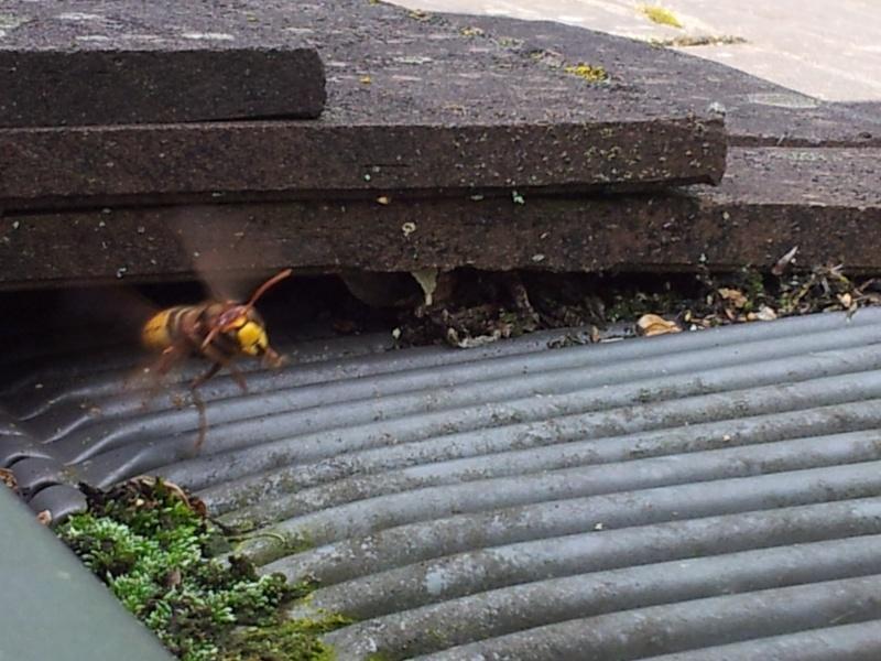 Nid de guêpes sous mon toit 20140813