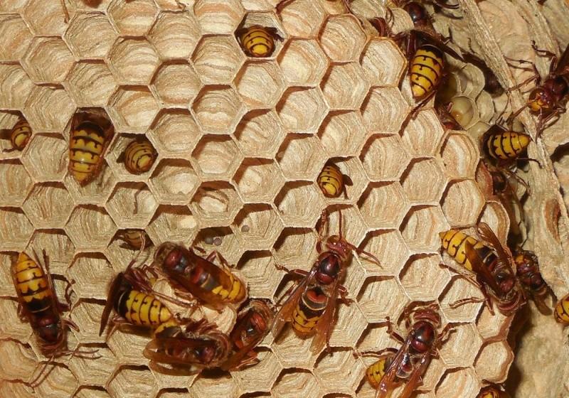 Nid de vespa crabro - Page 2 5_en_c10