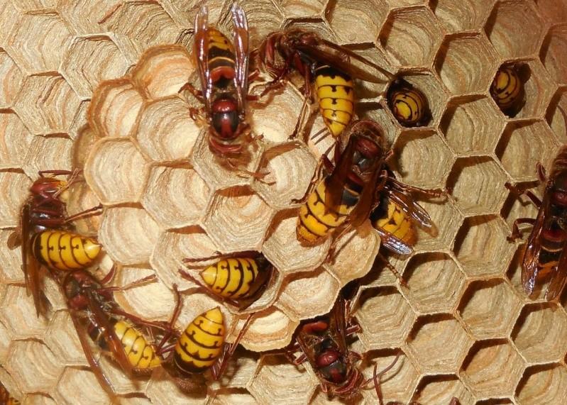 Nid de vespa crabro - Page 2 5_en_c11