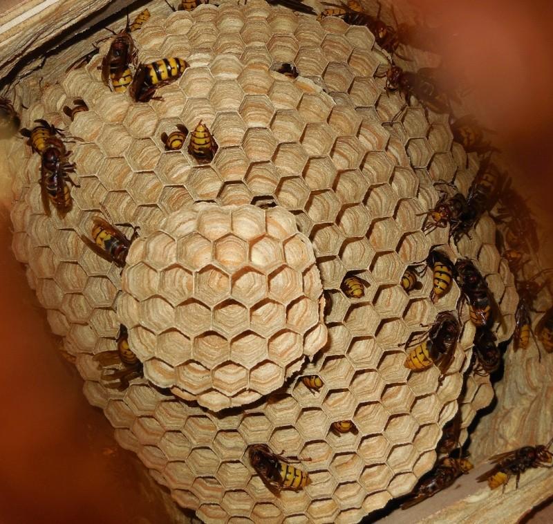 Nid de vespa crabro - Page 2 6yme_y10