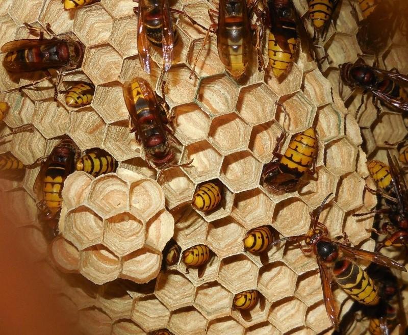 Nid de vespa crabro - Page 3 9yme211
