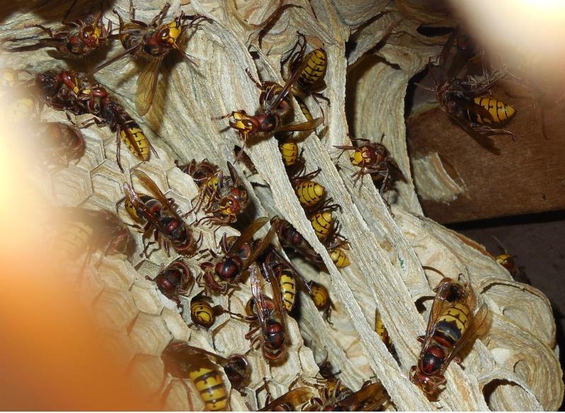Nid de vespa crabro - Page 3 Abords10