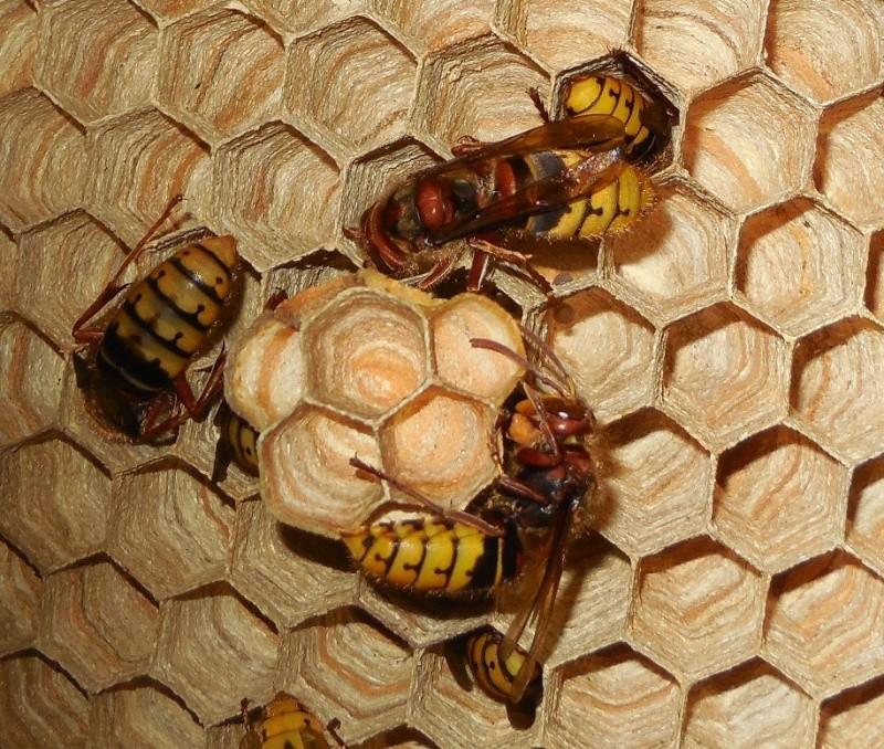 Nid de vespa crabro - Page 2 Avance10
