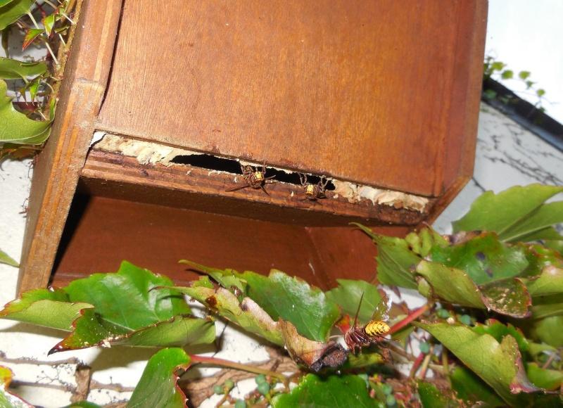 Nid de vespa crabro - Page 2 Bas_du10