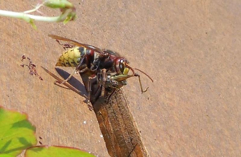 Nid de vespa crabro Casse_10