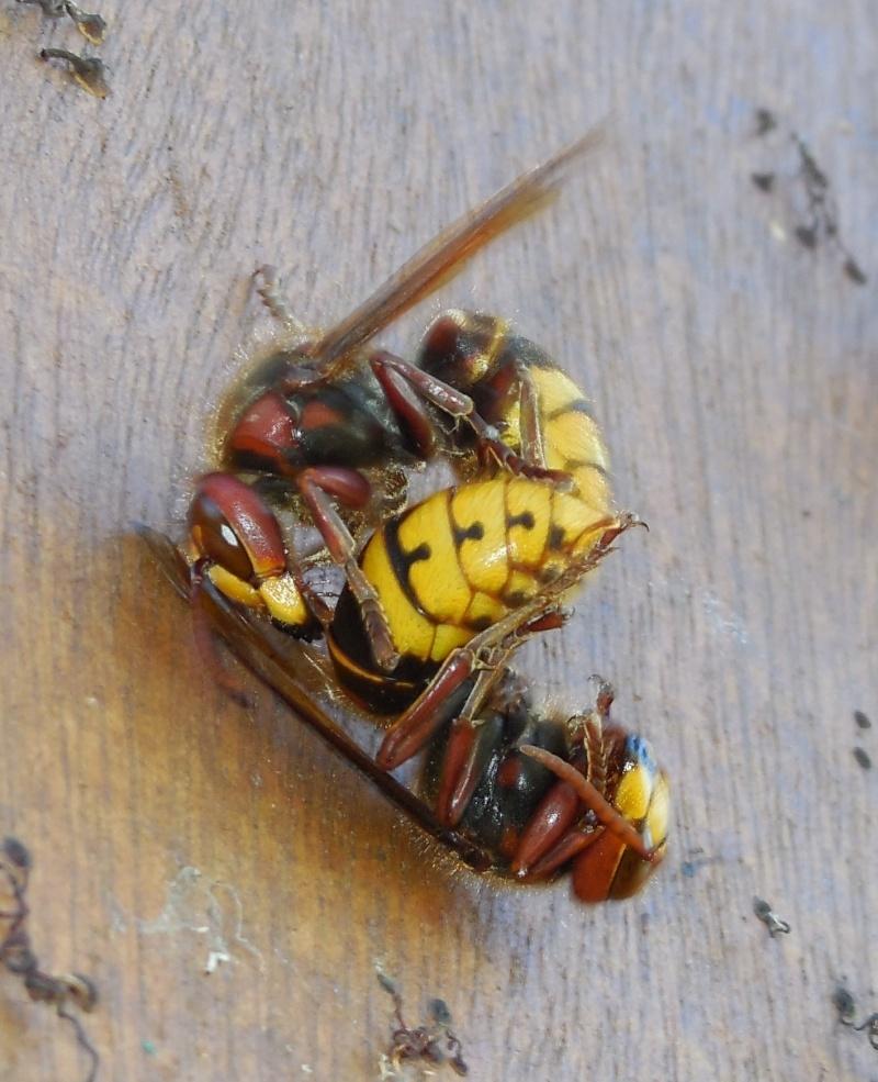 Nid de vespa crabro - Page 2 Combat12