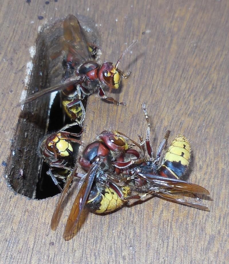 Nid de vespa crabro - Page 2 Combat13