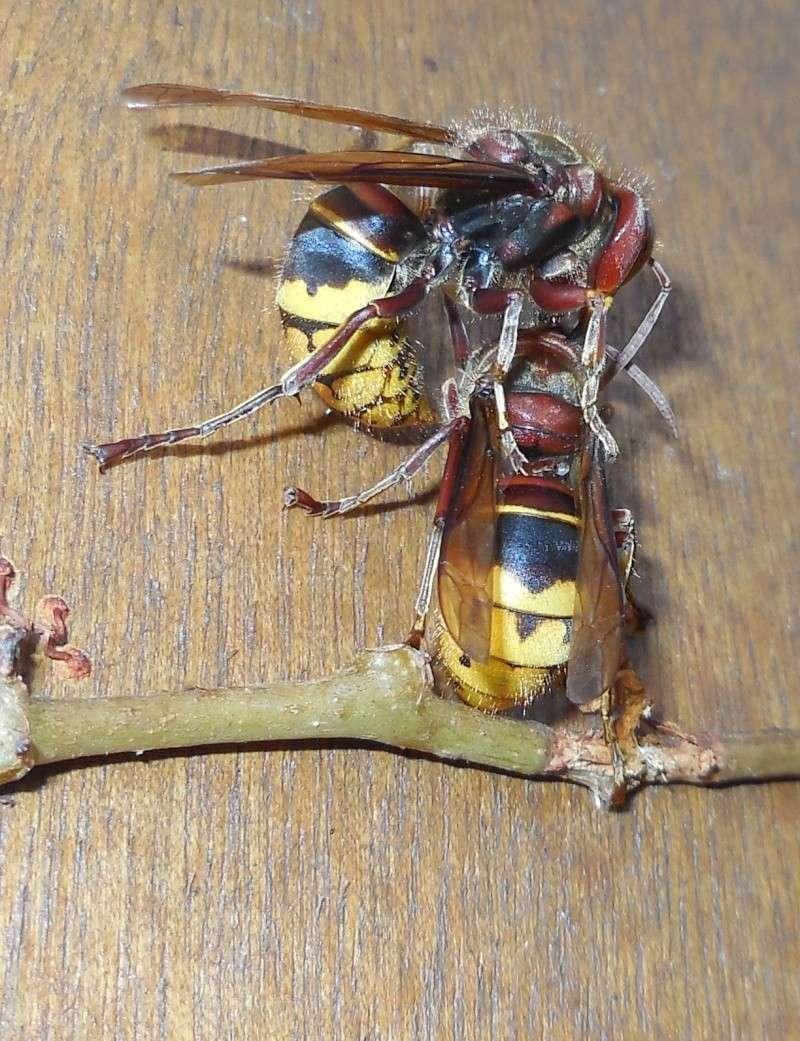 Nid de vespa crabro - Page 2 Combat14