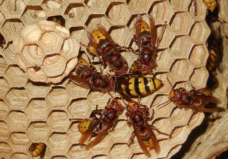 Nid de vespa crabro - Page 2 Cour_r10