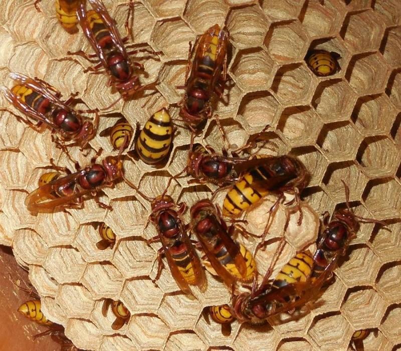 Nid de vespa crabro - Page 2 Cour_r11