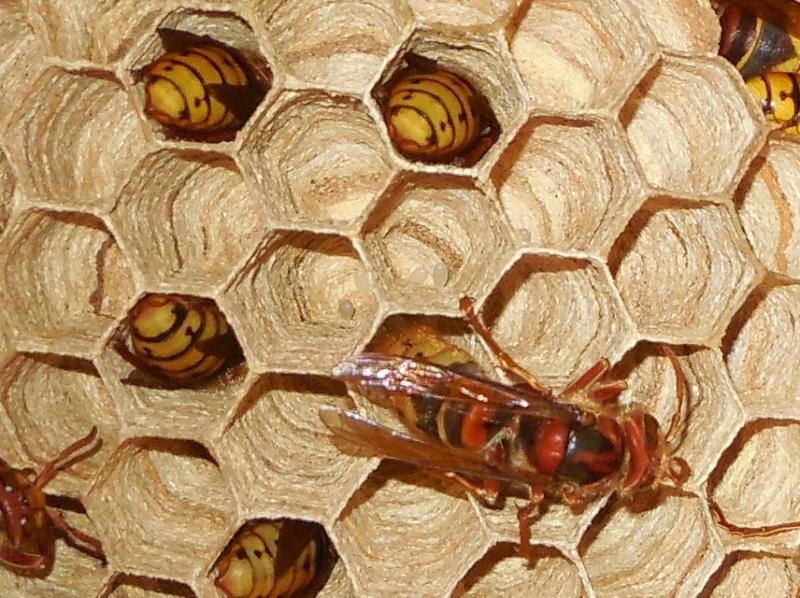 Nid de vespa crabro Deux_o10