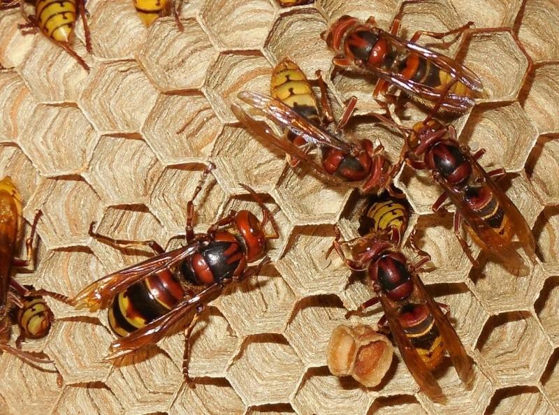 Nid de vespa crabro - Page 2 Dybut_10