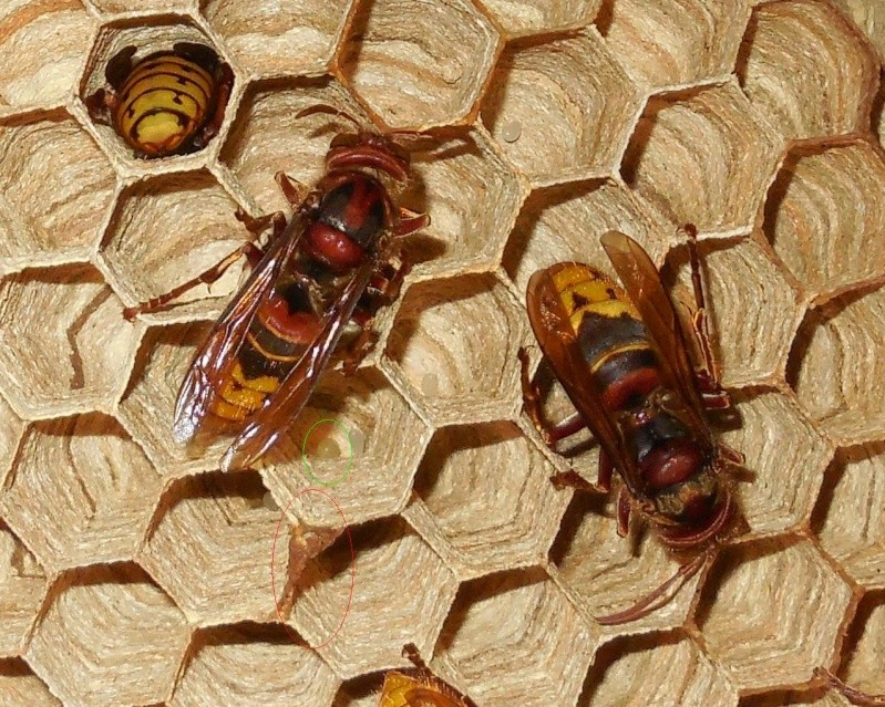 Nid de vespa crabro - Page 2 Eclosi11