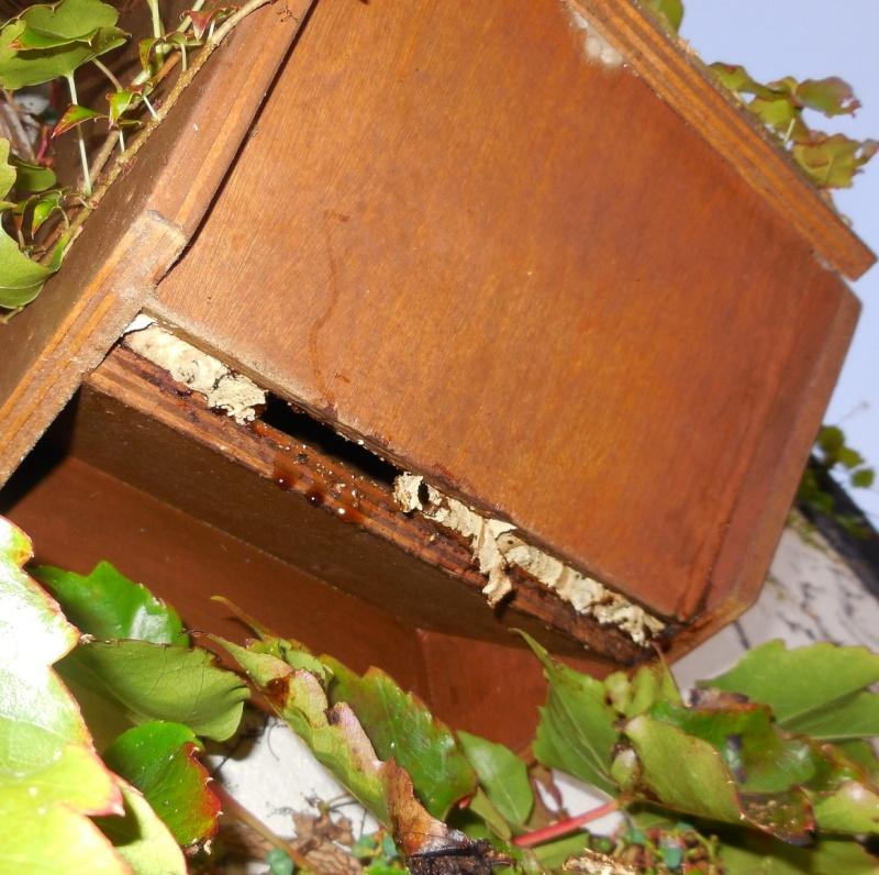 Nid de vespa crabro - Page 2 Fond_d10